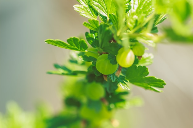 Gooseberry on a branch with leaves