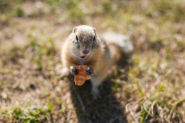 Суслик ест печенье в траве крупным планом