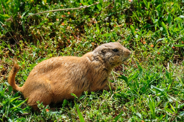 Gopher at green meadow