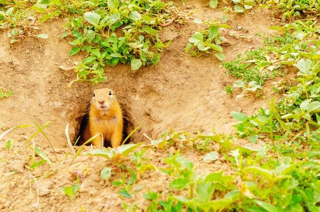 Gopherは、自然の野生生物の緑の野原の地面の穴からのぞきます。