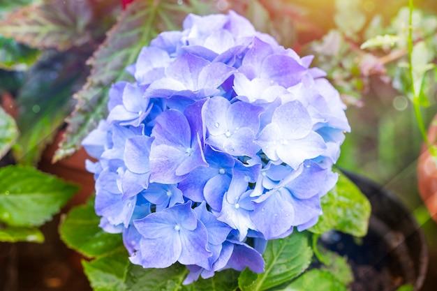 ゴージャスな青いあじさいの花