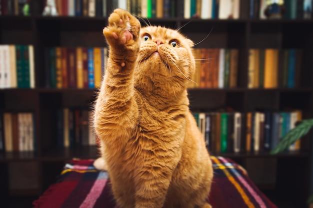 Великолепный британский короткошерстный рыжий кот. интерьер домашней библиотеки.