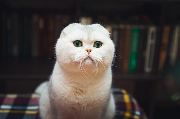 Великолепный британский короткошерстный белый кот. интерьер домашней библиотеки.
