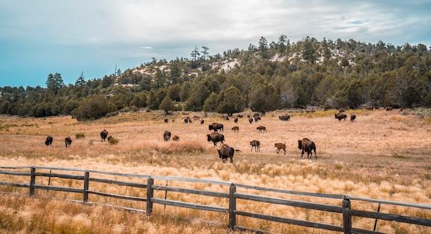 ユタ州ザイオン国立公園近くのゴージャスなバッファローファーム。アメリカ