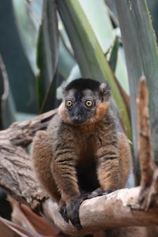 Gorgeous collared lemur with amazing yellow eyes