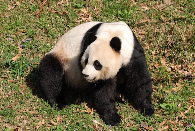 Gorgeous giant panda bear sitting down.