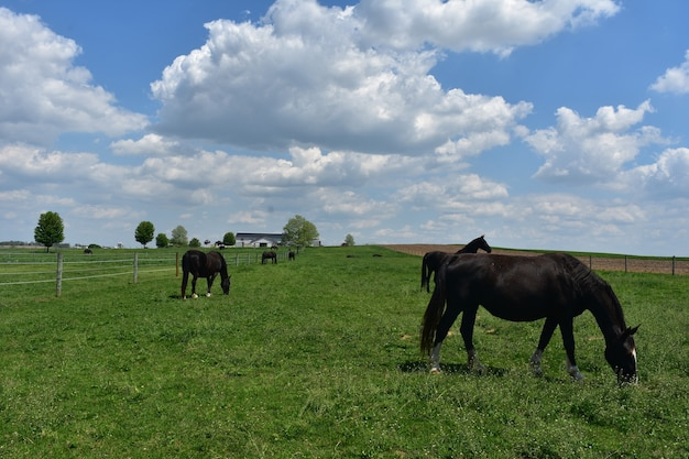 Gorgeous herd of black horses in a field.