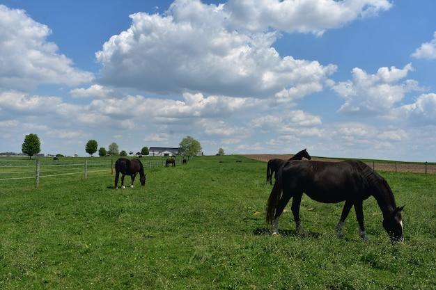 野原にいる黒い馬の豪華な群れ。