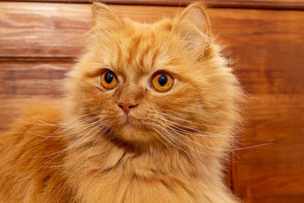 Великолепный оранжевый персидский кот с глубоким взглядом