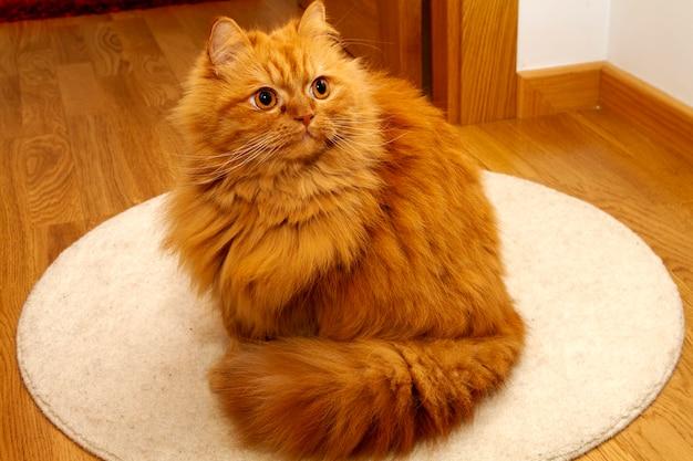 깊은 시선을 가진 화려한 주황색 페르시아 고양이