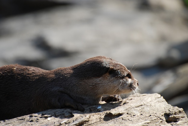Gorgeous profile of a giant river otter on a rotting log.
