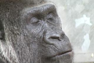Gorilla, animal
