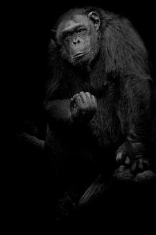 Gorilla close up portrait isolated on black monochrome portrait