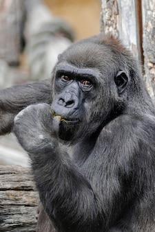 Самка западной низменной гориллы (gorilla gorilla gorilla)