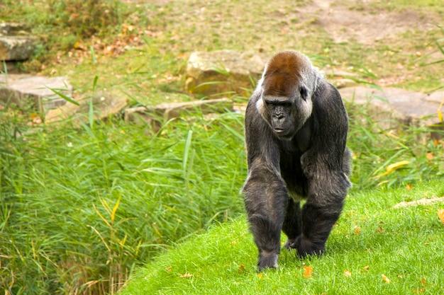ベルリン動物園のゴリラ、草の上に立っています。動物の野生生物。