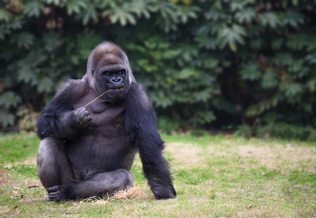 Gorilla sits on a grass looking sideways