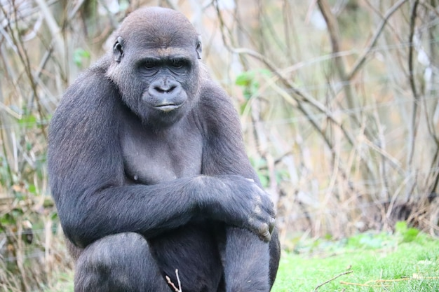 Gorilla sitting on the grass while looking down