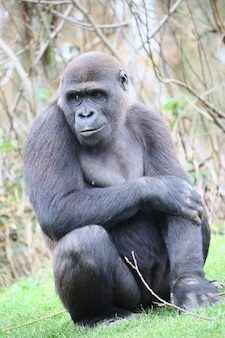 Gorilla sitting on the ground while looking aside