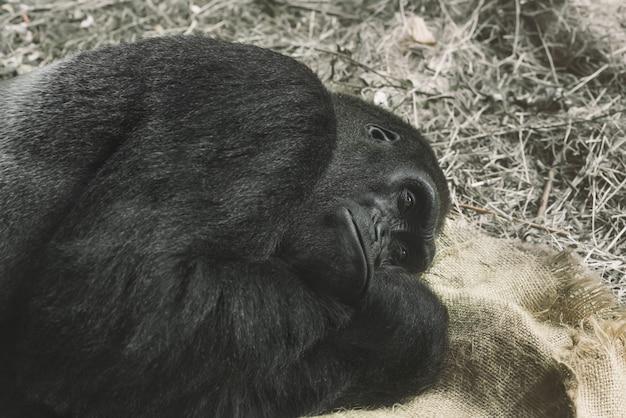 Gorilla cerca di dormire