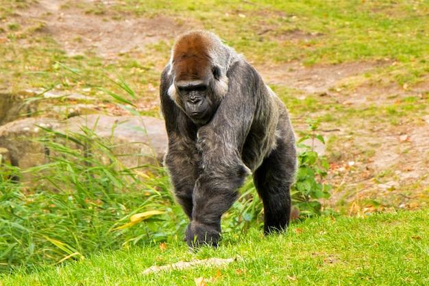 Gorilla in the zoo, wildlife animal scene,mammal on the green grass