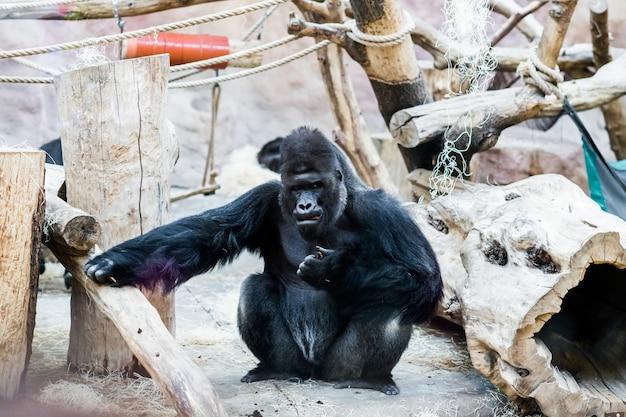 Gorilla in the zoo