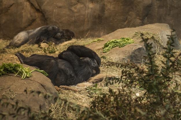 動物園で頭痛で横になっているゴリラ