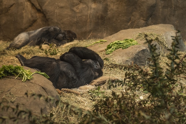 Gorillas lying down with a headache at the zoo