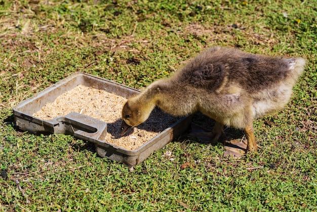 ゴスリングは田舎の田舎の家ロシアの中庭の緑の芝生のフィーダーから鳥の餌を食べる