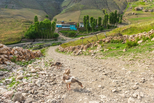 Гусят на грунтовой дороге в деревне