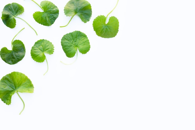Gotu kola, asiatic pennywort or indian pennywort on white background. copy space