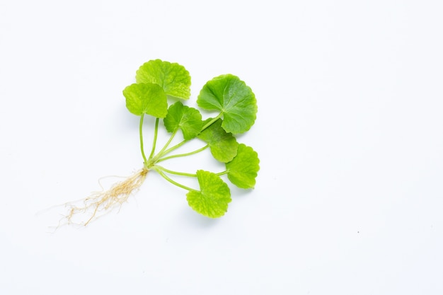 Gotu kola, asiatic pennywort or indian pennywort on white.
