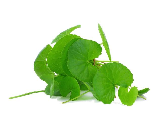 흰색 바탕에 gotu 콜라 잎