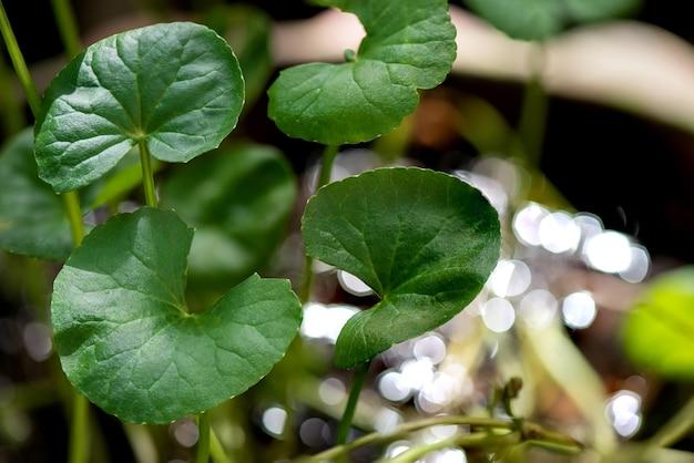 Gotu kola 또는 centella asiatica, bokeh 자연 표면에 녹색 잎.