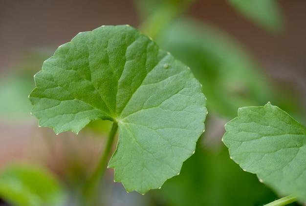 Gotu kola 또는 centella asiatica, 녹색 잎.