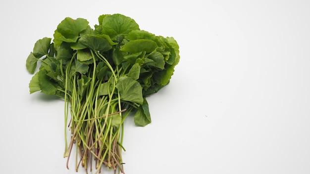 Gotu kola on whtie background.it is asian food herb.