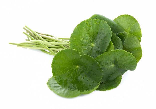 Gotu kola、アジアペニーウォート、アジアの葉の白い背景で隔離のクローズアップの葉