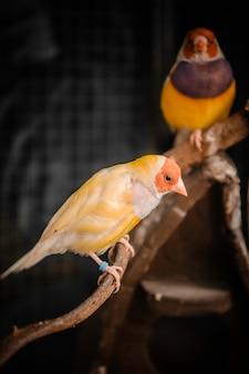 Gouldian finchカラフルな鳥