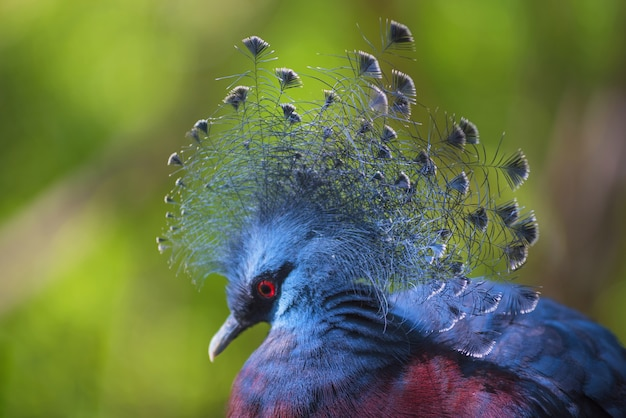 Goura victoria exotic crowned bird