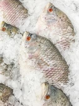 巨人gourami魚