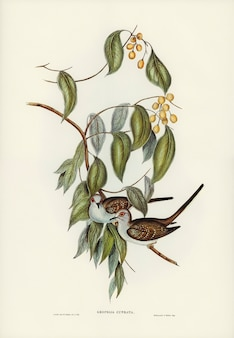 Graceful ground dove (geopelia cuneata) illustrated by elizabeth gould