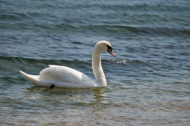 A graceful white swan floats on the lake romantic wild bird