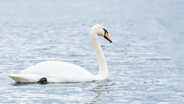 川の優雅な白い白鳥、野生の白鳥。白鳥の肖像画、テキスト用のコピースペース