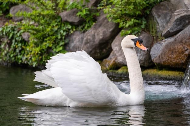 Изящный белый лебедь плавает в озере, лебеди в дикой природе. Premium Фотографии