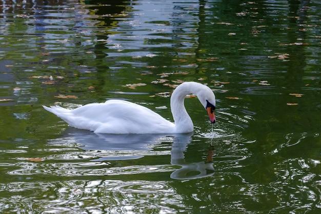 Изящный белый лебедь плавает в озере, лебеди в дикой природе