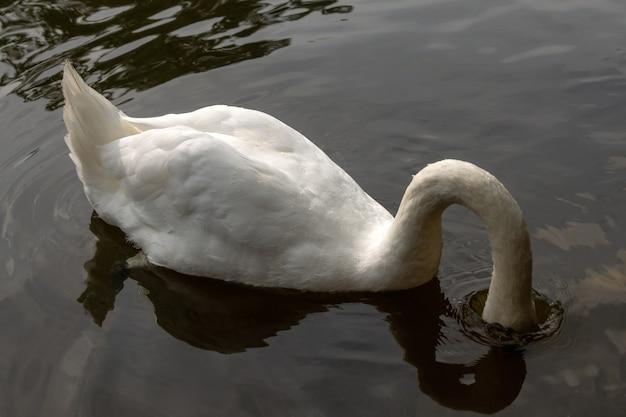 물에 떠 있는 붉은 부리와 우아한 하얀 백조