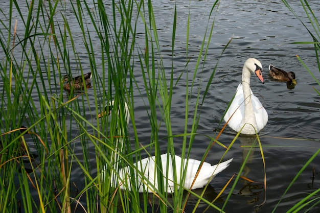 물에 떠 있는 우아한 하얀 백조와 갈색 오리