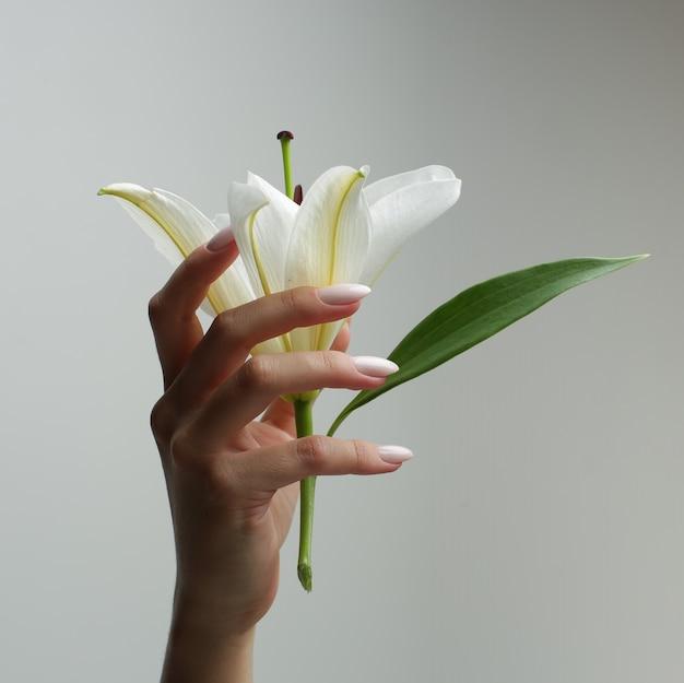 섬세한 매니큐어와 우아한 여자의 손은 회색 배경에 그의 손에 흰색 백합을 보유