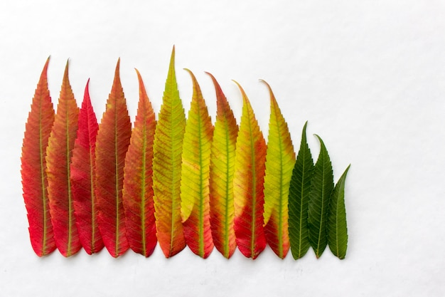 Gradient colored leaves arranged in a row. autumn leaf coloration.