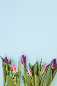Gradient pink tulip flowers arrangement on sky blue background