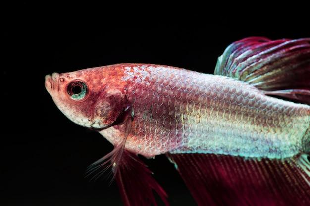 グラデーションバイオレットとピンクのダンボベタsplendensの戦いの魚